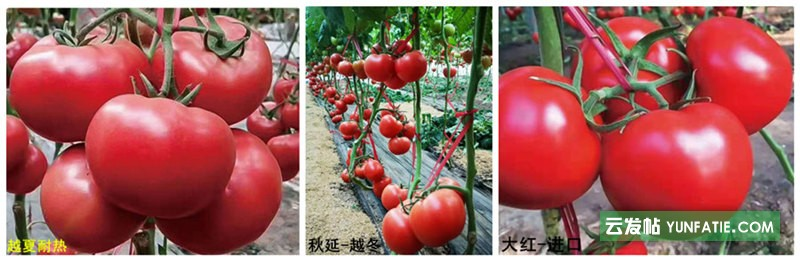 抚顺草莓西红柿苗基地_西红柿育苗批发