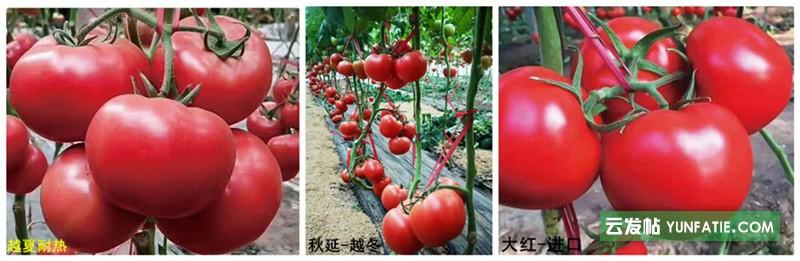 东港西红柿苗_草莓口感西红柿育苗基地