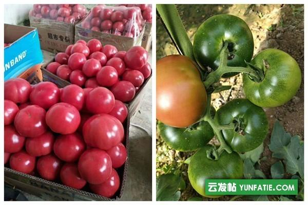 新泰粉果西红柿苗批发_西红柿种苗厂
