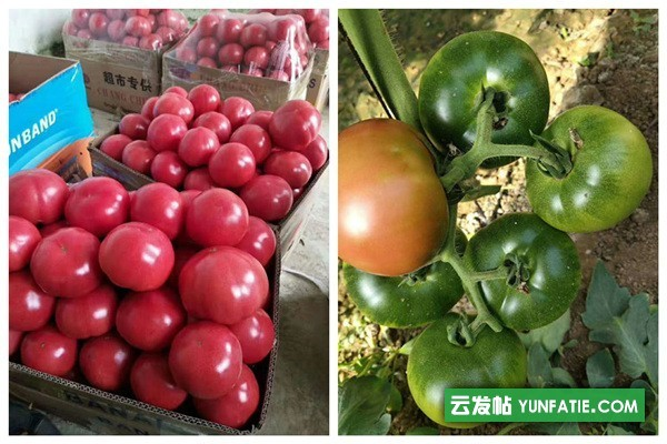 莱芜普罗旺斯西红柿苗_基地代育西红柿苗价格